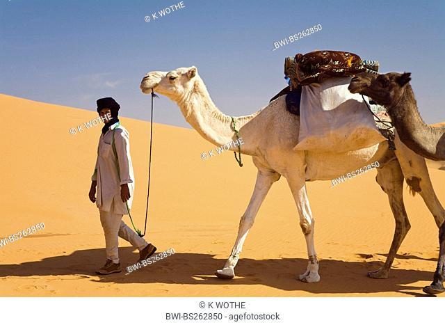 dromedary, one-humped camel Camelus dromedarius, beduine in the Libyan desert leading a small dromedary caravan, Libya, Sahara