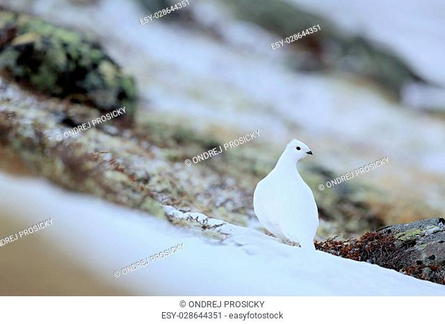 Rock Ptarmigan, Lagopus mutus, white bird sitting on the snow