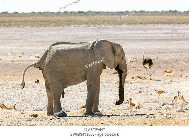 African elephant (Loxodonta africana), bull elephant during defecation and urination at a waterhole with impala and ostrich, Namibia, Etosha