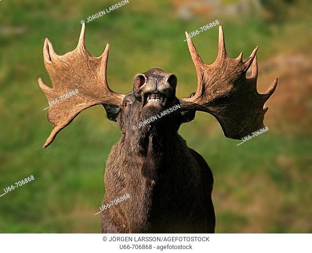 Moose. Hälsingland,  Sweden