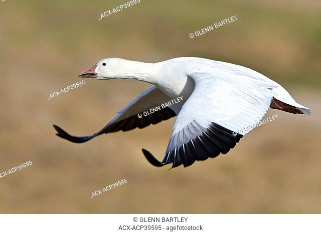 Snow Goose Chen caerulescens flying at the Bosque del Apache wildlife refuge near Socorro, New Mexico, United States of America