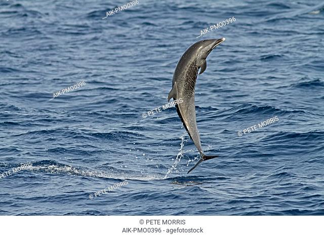 Pantropical spotted dolphin (Stenella attenuata) jumping out of the water