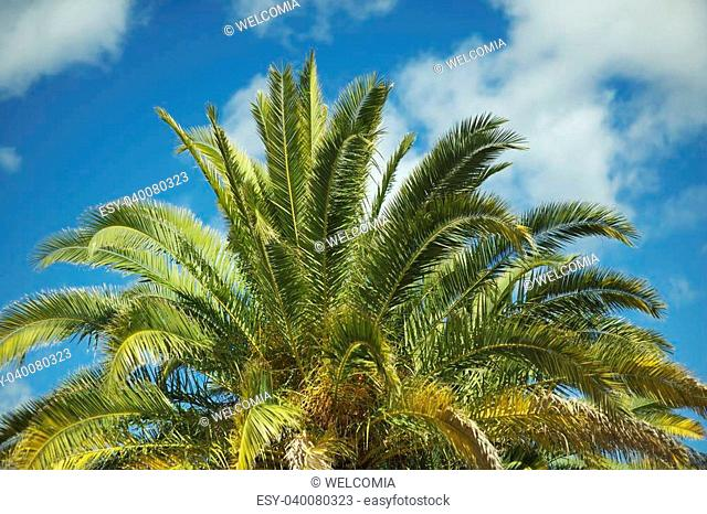 Canary Island Date Palm - ( Phoenix Canariensis ) Large Majestic Palm, With a Very Solid Trunk, and Long Feather Leaves With Spined Petioles