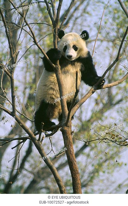 Giant Panda in tree at Beijing Zoo