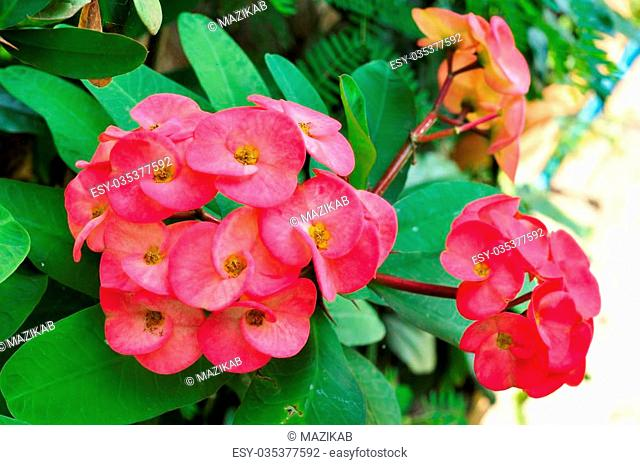 Closeup of a cluster of pink crown of thorns flowers