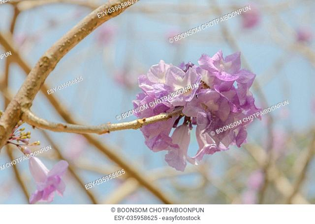 Jacaranda tree with a bunch of purple flower on blue sky background