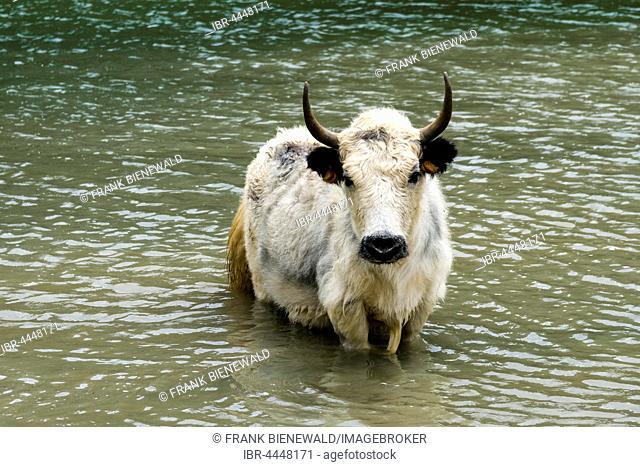 White yak (Bos mutus) standing in water, Ice Lake, Braga, Manang District, Nepal