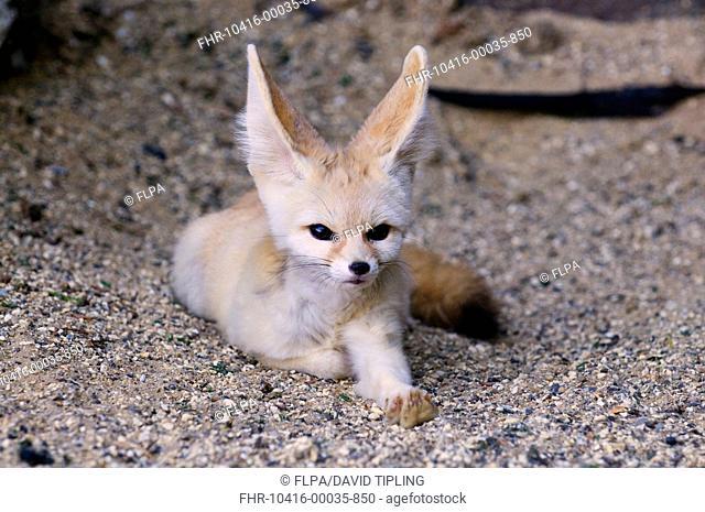 Fennec Fox Vulpes zerda adult, resting captive