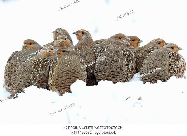 Common Partridge Perdix perdix, covey resting on snow covered field, Lower Saxony, Germany