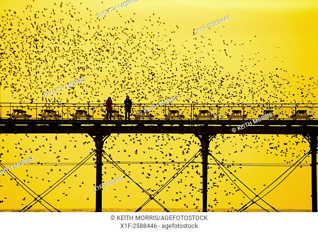 """Aberystwyth Wales UK, Friday 6 March 2015. . At the end of a day of warm spring sunshine, birdwatchers get up close and personal as a """"""""murmuration""""""""of..."""