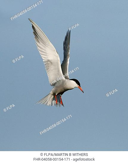 Common Tern Sterna hirundo adult, in flight, hovering, Lesbos, Greece, may