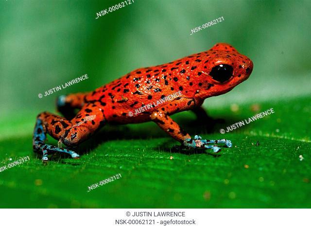 San Cristobal morph Strawberry Poison Frog (Oophaga pumilio) resting on a leaf, Panama
