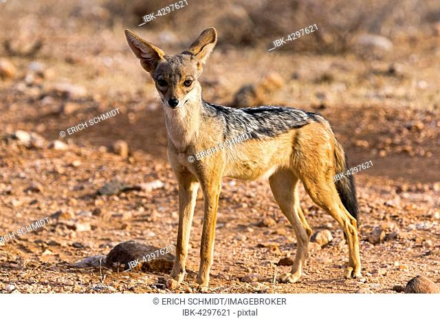 Black-backed jackal (Canis mesomelas), attentive, Samburu National Reserve, Kenya