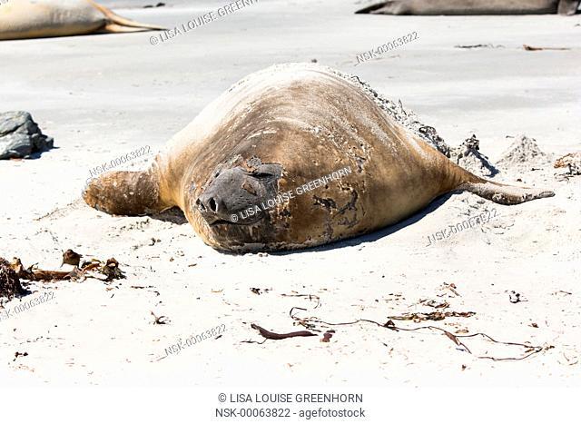 Elephant Seal (Mirounga leonina) adult moulting and resting on a beach, Falkland Islands, Sea Lion Island