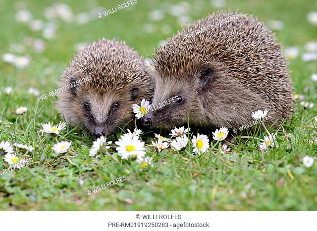 Two European Hedgehogs, Erinaceus europaeus, Germany / Zwei Braunbrustigel, Erinaceus europaeus, Deutschland