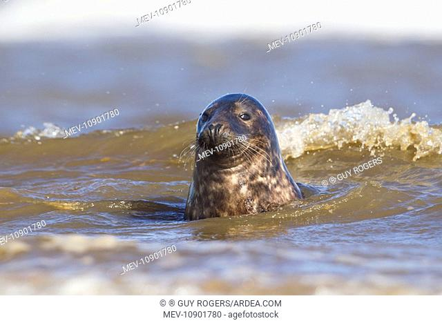 Grey Seal - bull portrait in the surf - September (Halichoerus grypus). Donna Nook - Lincolnshire - England
