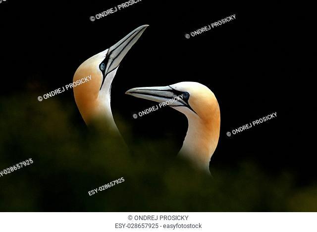 Portrait of pair Northern Gannet, Sula bassana