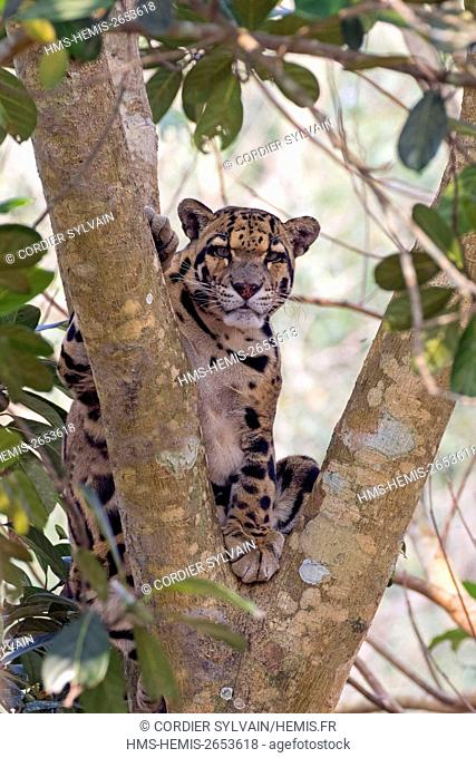 India, Tripura state, Clouded leopard (Neofelis nebulosa)
