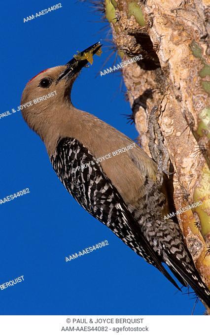 Gila Woodpecker at Saguaro Cactus nest - Arizona (Centurus uropygialis)