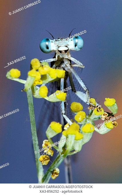 Damselfly on a fennel looking camera