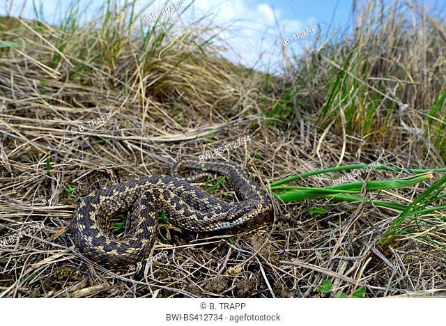 meadow viper, Orsini's viper (Vipera ursinii), rare meadow viper in the Romanian steppe , Romania, Moldau, Iași
