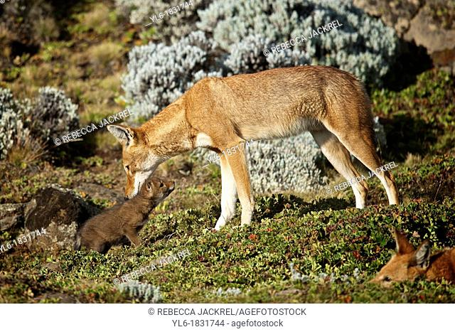 Ethiopian wolf parent bonding with young