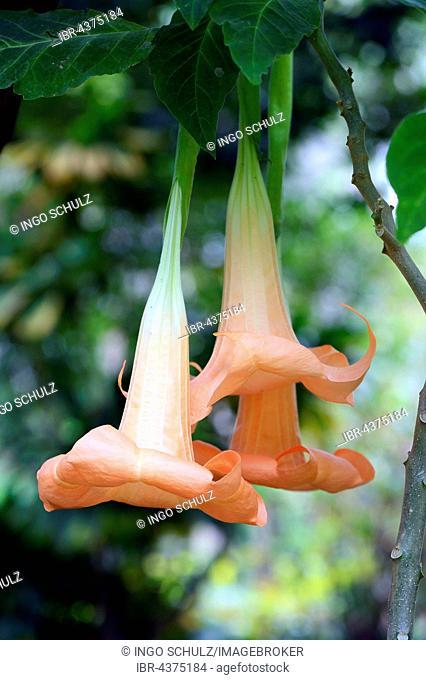 Colorful Angel's Trumpet (Brugmansia versicolor), blossoms, origin South America, Jardín de Aclimatión de La Orotava Botanical Garden, Puerto de la Cruz