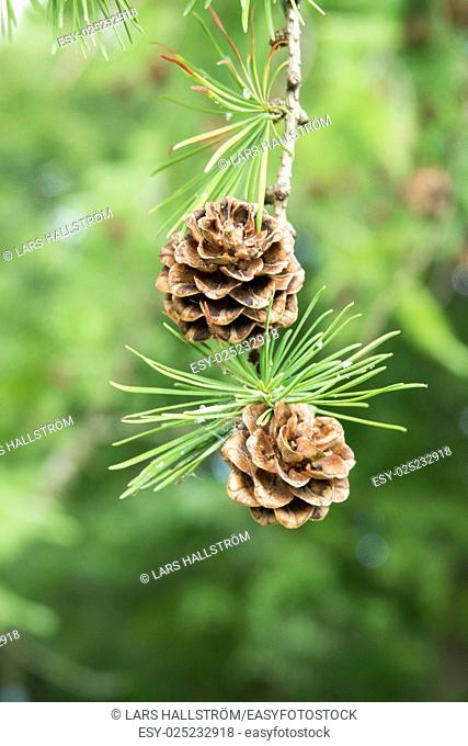 Pine cones on tree branch in forest. Nature detail. Green woods in summer