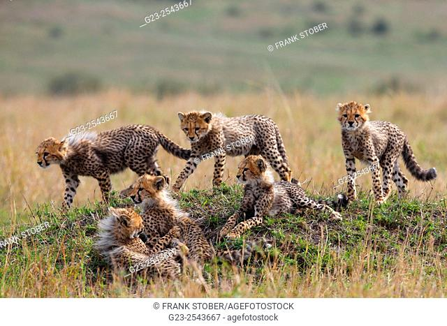 Cheetah cubs family. Maasai Mara National Park, Kenya