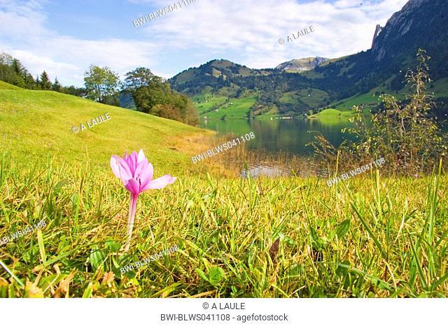meadow saffron Colchicum autumnale, blooming, mountain landscape, Switzerland, Berner Alpen, Waegitaler See