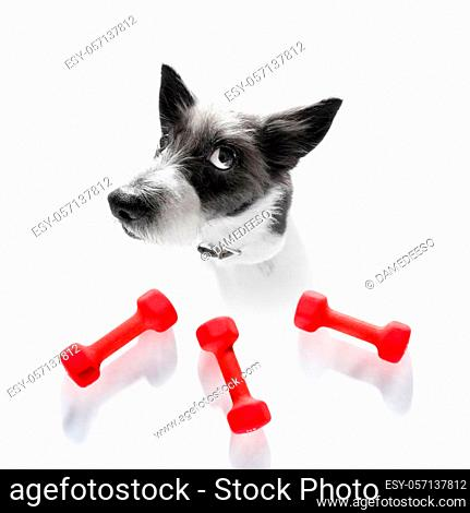 fitness poodle dog with a heavy dumbbell, as personal trainer, isolated on white background