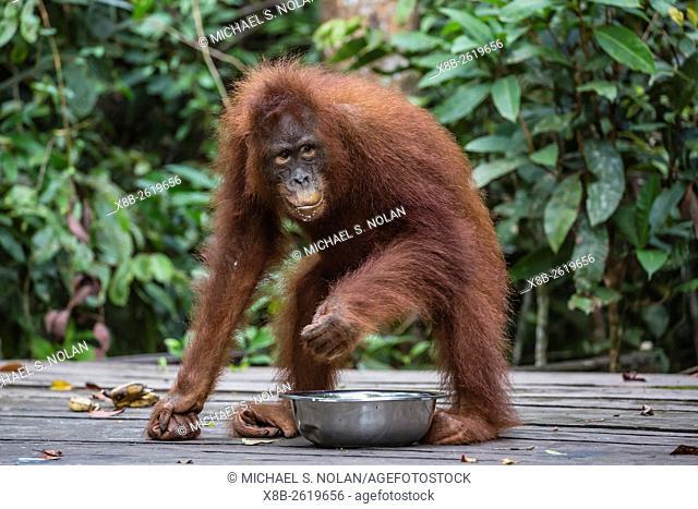 Reintroduced young orangutan, Pongo pygmaeus, at feeding platform, Tanjung Puting National Park, Borneo, Indonesia