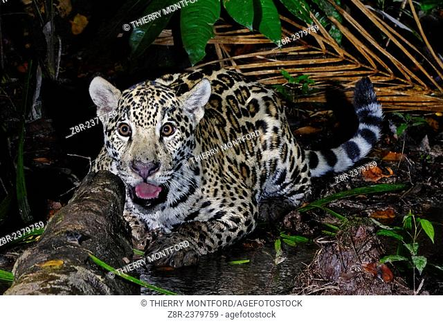Panthera onca. Young jaguar in a little river. French Guiana