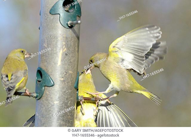 Garden bird feeder, Greenfinches, carduelis chloris, squabbling over food, Norfolk, UK, December
