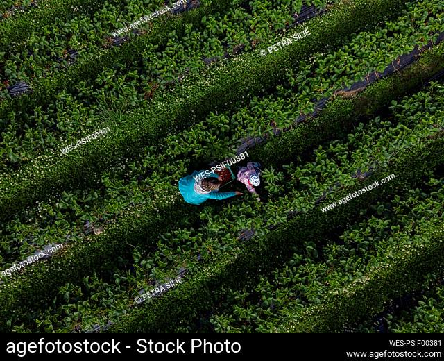 Mother and daughter picking strawberries on a field