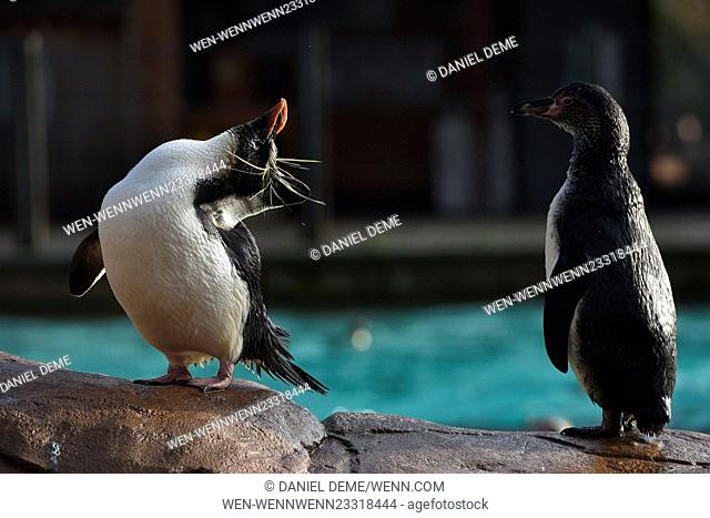 Annual Stocktake at the ZSL London Zoo. Featuring: Humboldt and Emperor penguins Where: London, United Kingdom When: 04 Jan 2016 Credit: Daniel Deme/WENN