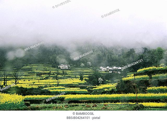 Rape flower fields in spring rain, Qingyuan Village, Wuyuan County, Jiangxi Province, People's Republic of China