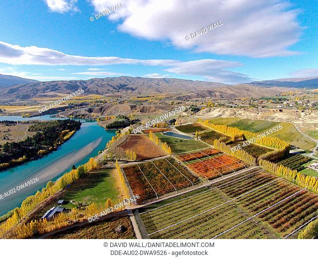 Orchards, poplar trees, and Lake Dunstan, Bannockburn, near Cromwell, Central Otago, South Island, New Zealand, drone aerial