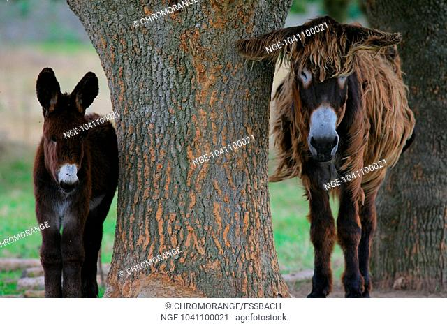 Two Donkeys stand by the Tree