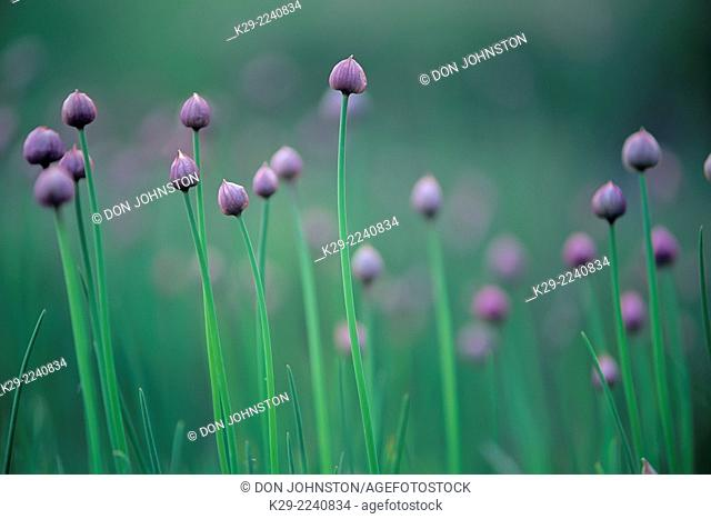 Wild chive (Allium schoenoprasum), Mississagi Point, Manitoulin Is., Ontario, Canada