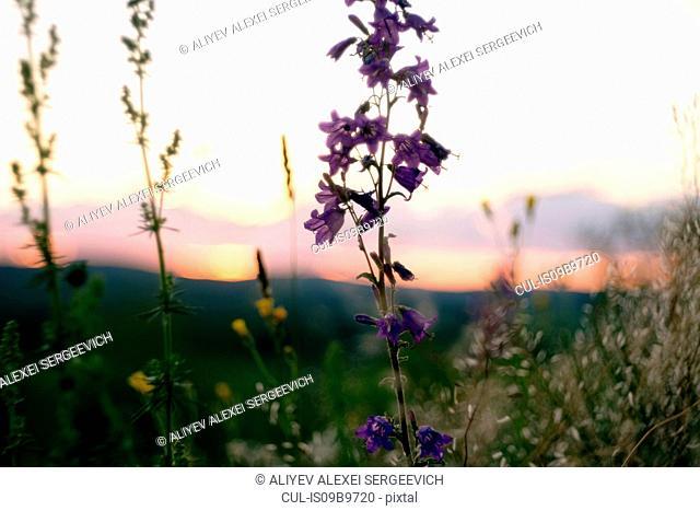Scenic rural view, wild flowers growing in foreground, Ural, Chelyabinsk, Russia, Europe