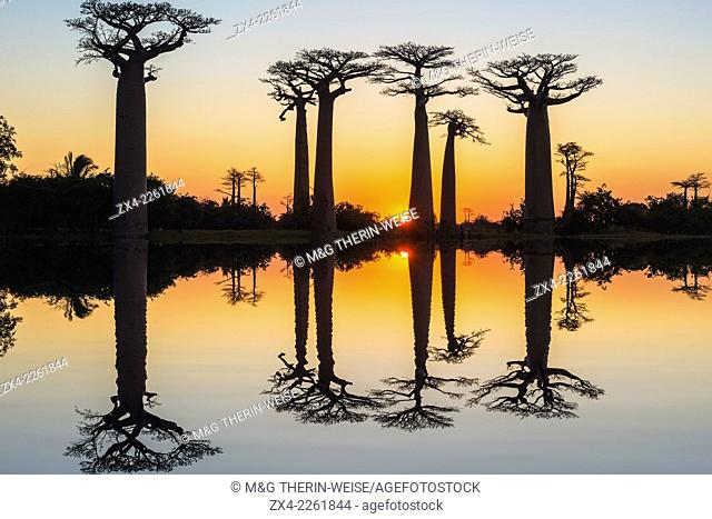 Baobab trees (Adansonia Grandidieri) reflecting in the water at sunset, Morondava, Toliara province, Madagascar