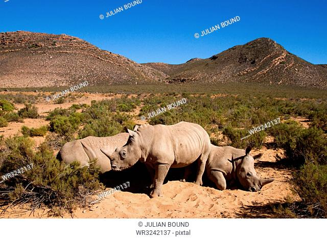 A young rhino and family, Aquila Safari Game Reserve, Cape Town, South Africa, Africa