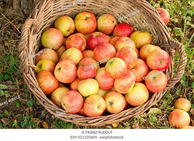 Sonnengereifte Äpfel im Korb
