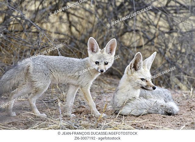 Cape foxes (Vulpes chama), lying mother with standing young at dusk, Kgalagadi Transfrontier Park, Northern Cape, South Africa, Africa