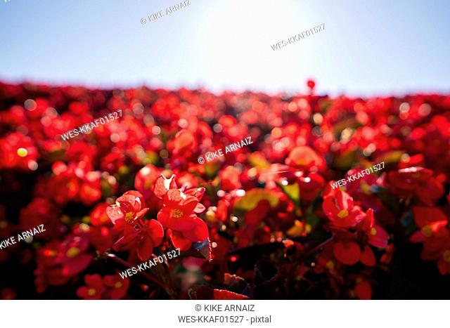 China, red flowers against the sun