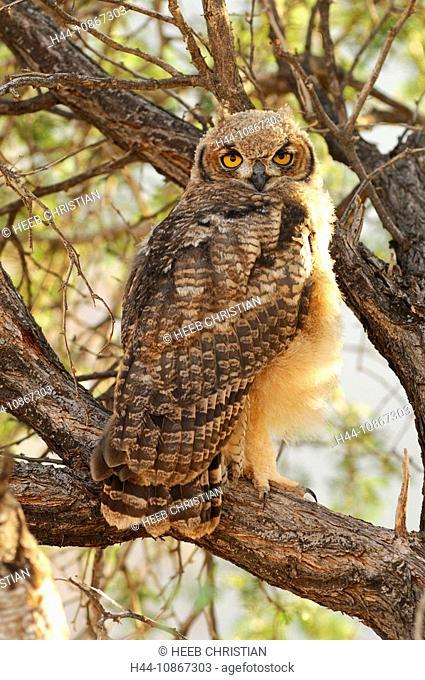 Spotted Eagle Owl, Bubo africanus, Bird, Sand Dunes, Dunes Lodge, Wolwedans Lodge, Namib Rand Nature Reserve, Hardap Region, Namibia, Africa, Travel, Nature