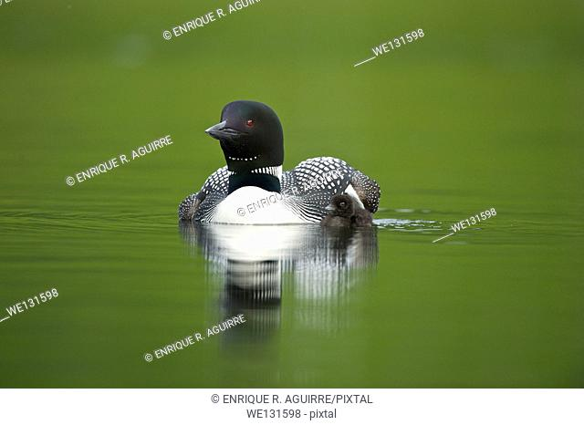 Great Northern Loon (Gavia immer), Common Loon with just hatched chick