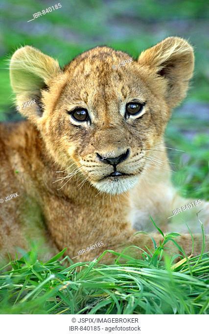 Lion (Panther leo), cub, portrait, Sabi Sand Game Reserve, South Africa