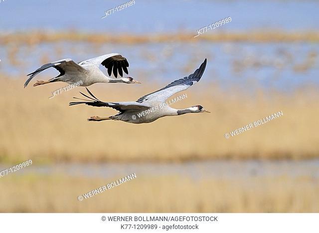Common Cranes (Grus grus), flying, Lake Hornborga, Sweden